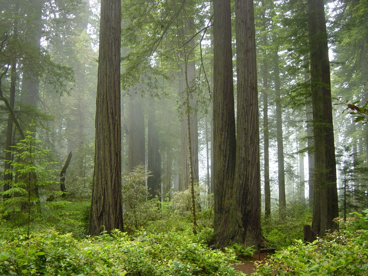 pnw redwoods national park in fog