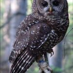 USFWS Northern Spotted Owl