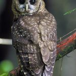 pnw northern spotted owl USFWS